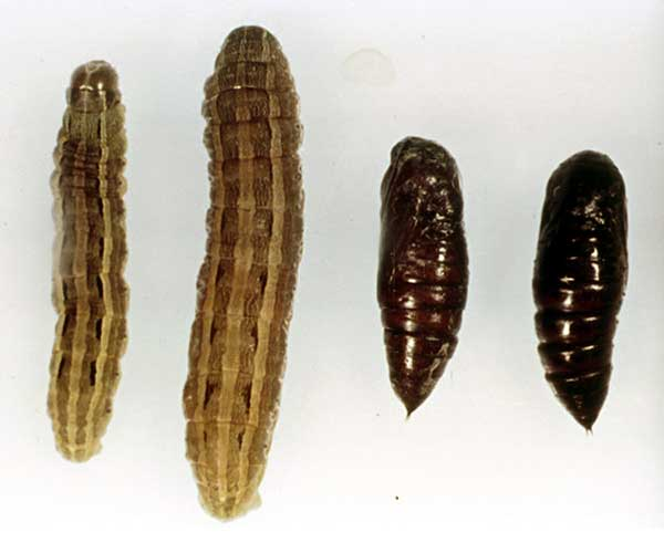 Mythimna separata, 'Northern Armyworm'