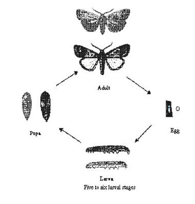Army Worm Life Cycle (African)