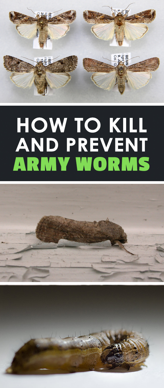 Army worms can march on your garden rows and decimate your plants. There are many types, so learn how to ID them, prevent them, and get rid of them!