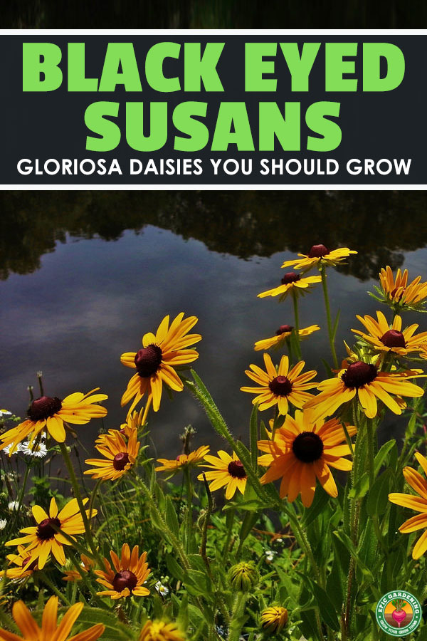 If you\'d like to grow black eyed susan or other Rudbeckia species plants, our guide will show you exactly how to grow and troubleshoot them!