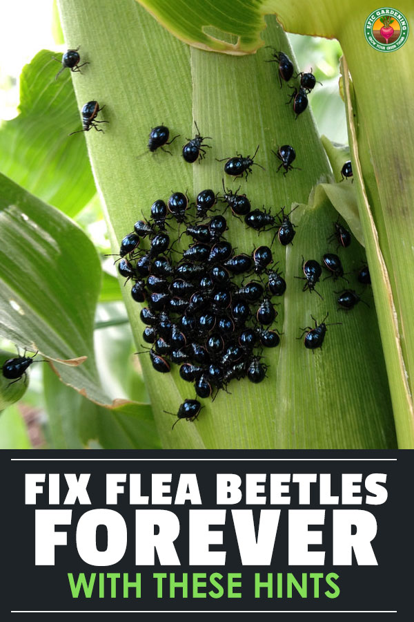 The flea beetle is a horrible plague in all gardens. Find out how to eliminate these pesky little beetles with this helpful guide!