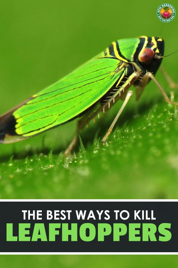 The leafhopper lurks within our gardens and green spaces. But you don\'t have to let them stay in your yard! Use our helpful guide to wipe them out.