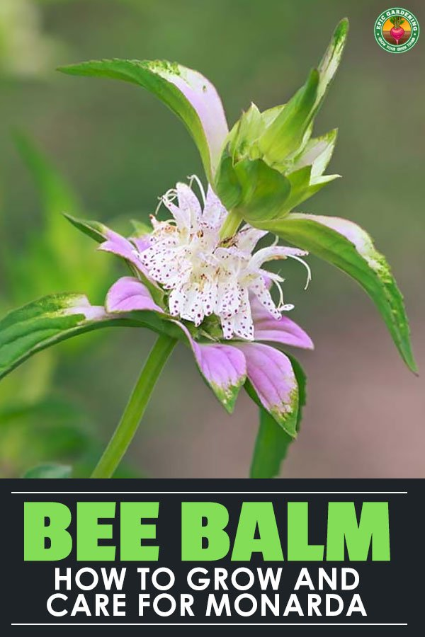 Growing bee balm is a great way to encourage pollinators in your garden. It's an easy to care for flower, so add it to your garden this spring!