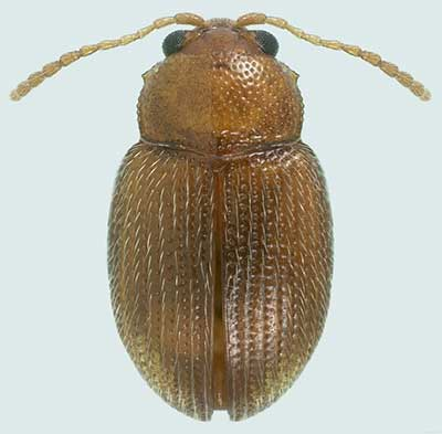 Epitrix hirtipennis or Tobacco flea beetle