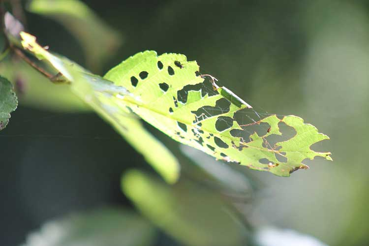 Flea beetle damage on alder leaf.