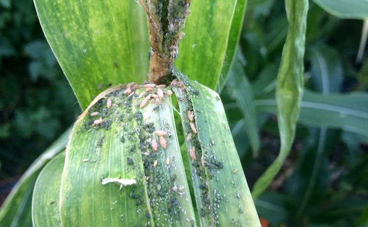 Maize leafhoppers and aphids