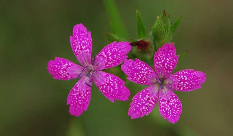Dianthus armeria 'Deptford Pink'