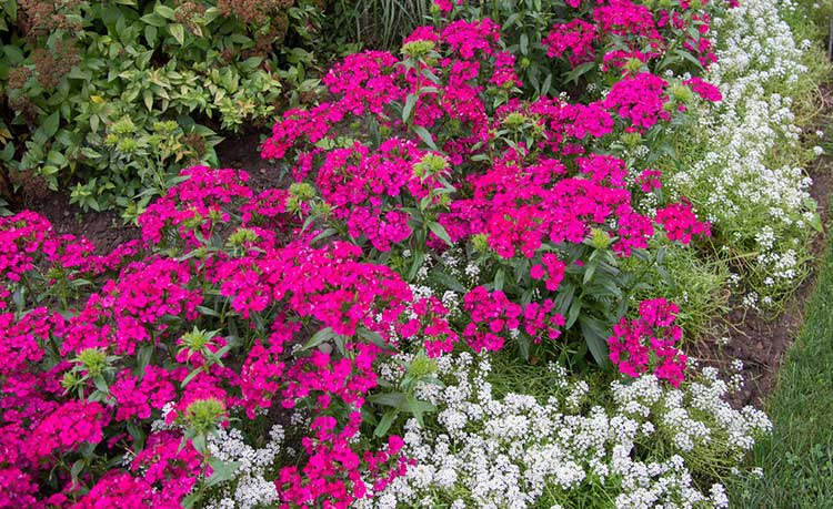 Dianthus Dreams: Caring For Carnations, Sweet Williams, and Pinks