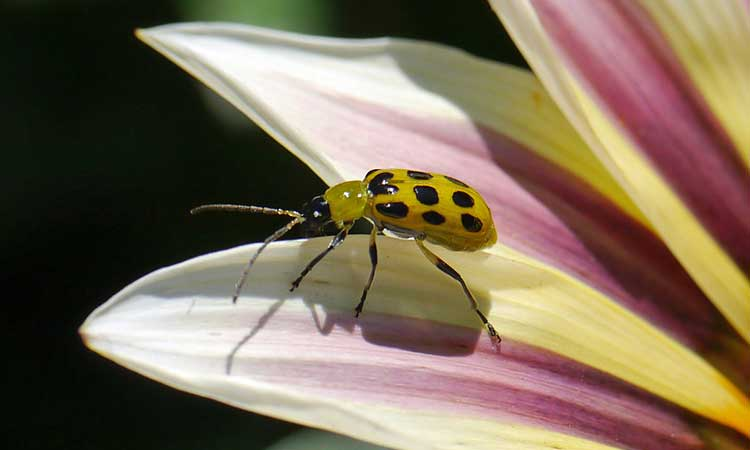 Cucumber Beetle Battle: How To Rid Your Garden Of These Pests