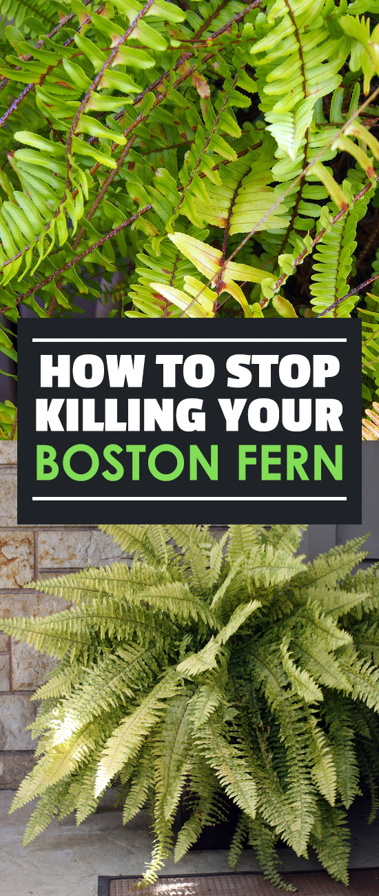 How-to-Stop-Killing-Your-Boston-Fern Varieties Of Ferns Houseplants on fern diagram, fern flowering shrubs, fern care, fern growing conditions, fern variety, fern plants, fern identification by leaf, fern design, fern propagation, fern baskets, fern id, fern bonsai, fern foliage, fern fiddleheads with brown scales, fern scientific name, fern foxtail lily, fern container gardening, fern assortment, fern identification guide,