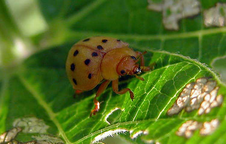 Mexican bean beetle eating leaf
