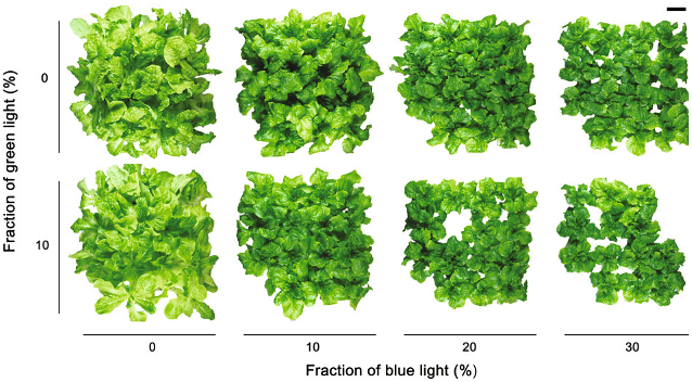 Lettuce reaction to light
