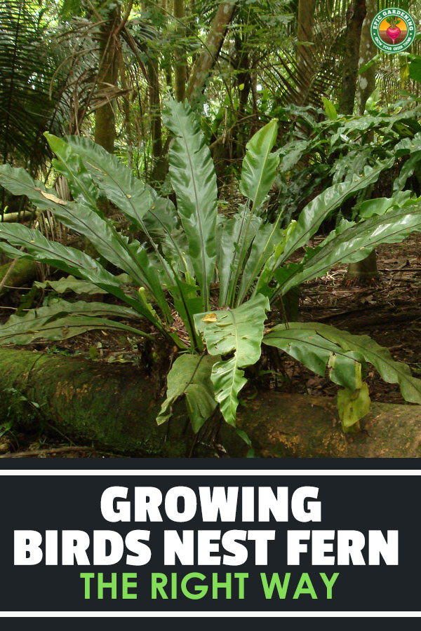 Do you love tropical plants? If so, you\'ll love the birds nest fern. Find out all about this rainforest delight in our growing guide!