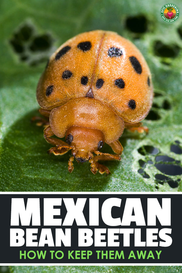 Are your beans getting devoured by a Mexican bean beetle infestation? Learn all about these common pests and how to destroy them in our helpful guide!