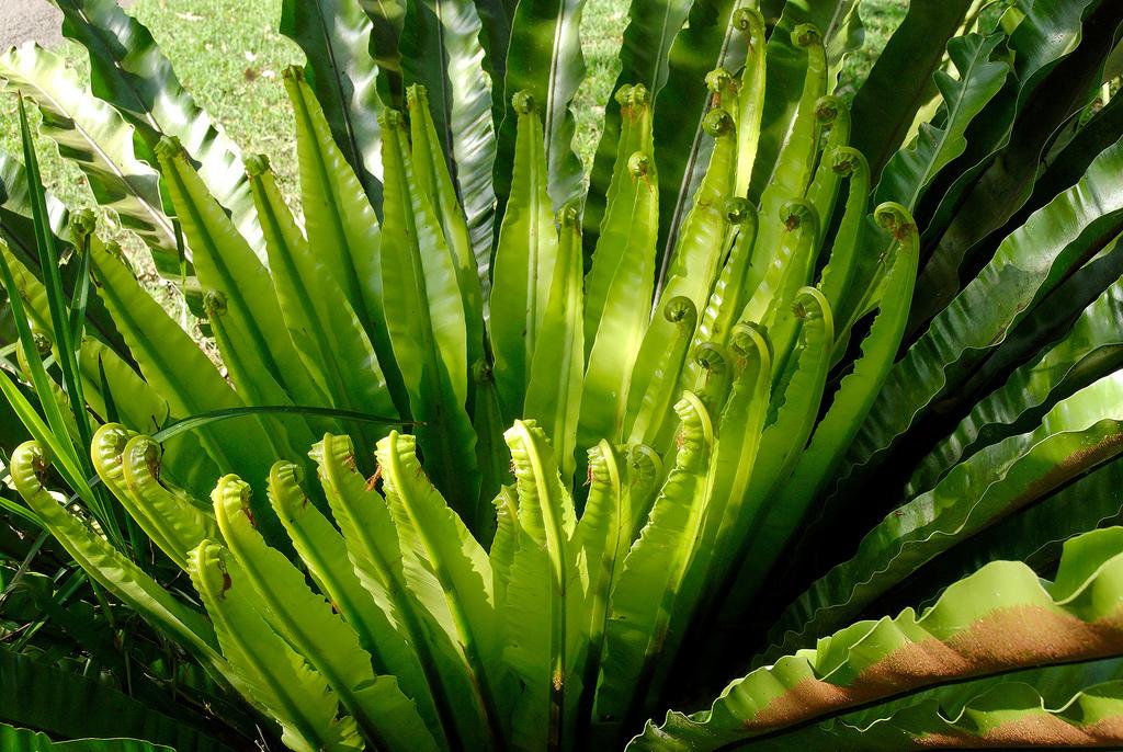 Asplenium australasicum, birds nest fern