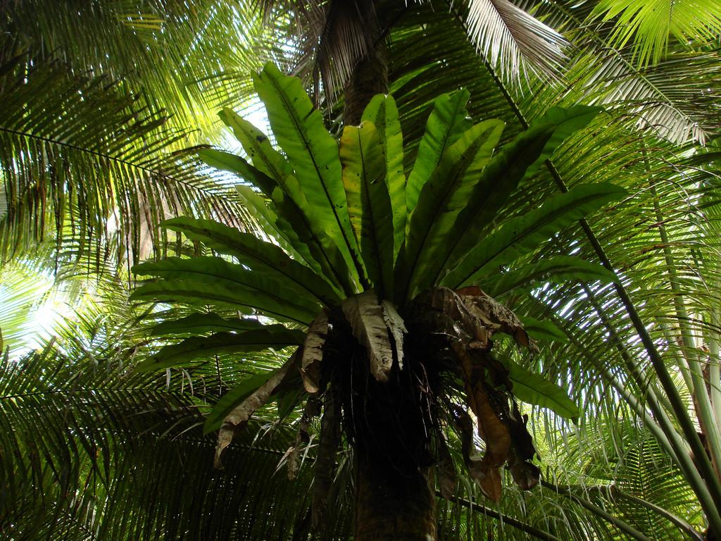Asplenium nidus in tree