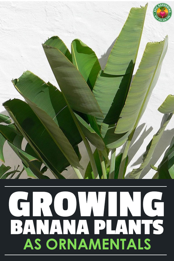 Have you ever wanted to grow a dwarf banana tree? Learn everything you need to know about the Musa genus in our complete growing guide!