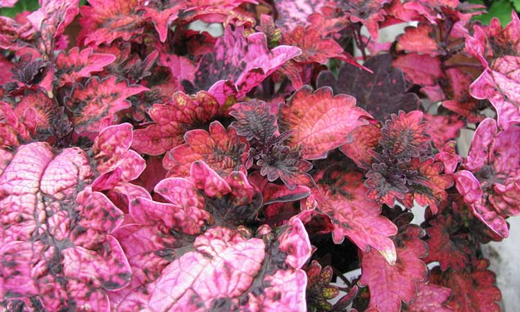 Coleus 'Florida Sun Rose'