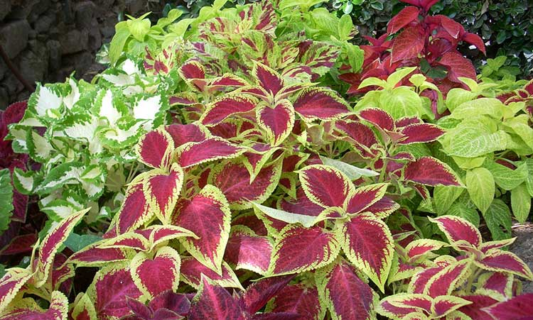 Coleus 'Wizard' mix