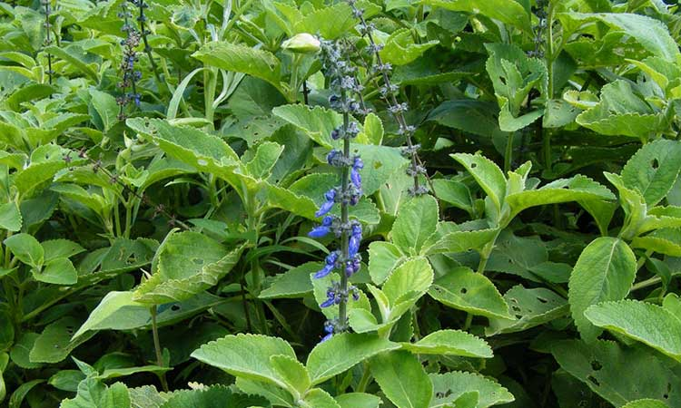 Coleus: How To Grow And Care For Plectranthus