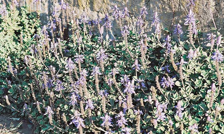 Plectranthus caninus var. Roth