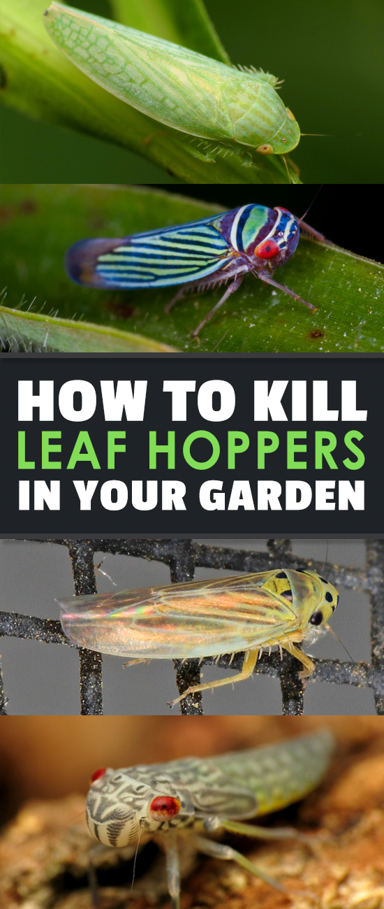 Leafhopper Pests: How To Kill Off Lurking Cicadellidae