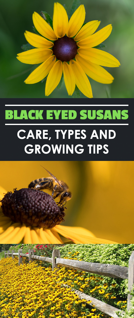 how to take care of black eyed susans