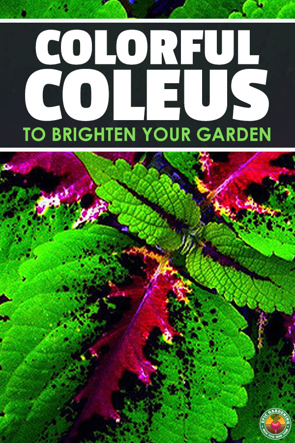 Coleus is an unusual tropical ornamental with stunning displays of color across its leaves. With our growing guide, you can easily grow this gorgeous plant!