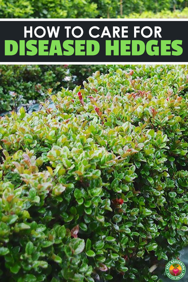 There's many common hedging diseases that can plague your hedges and border plants. Learn about the most common ones and how to fix them here!