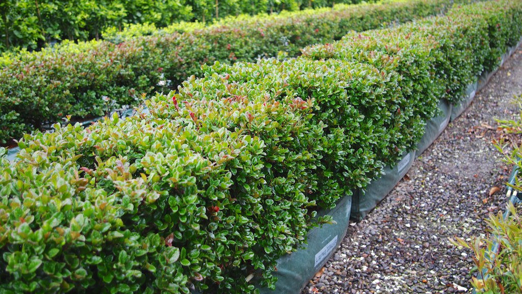 Common Hedge Diseases