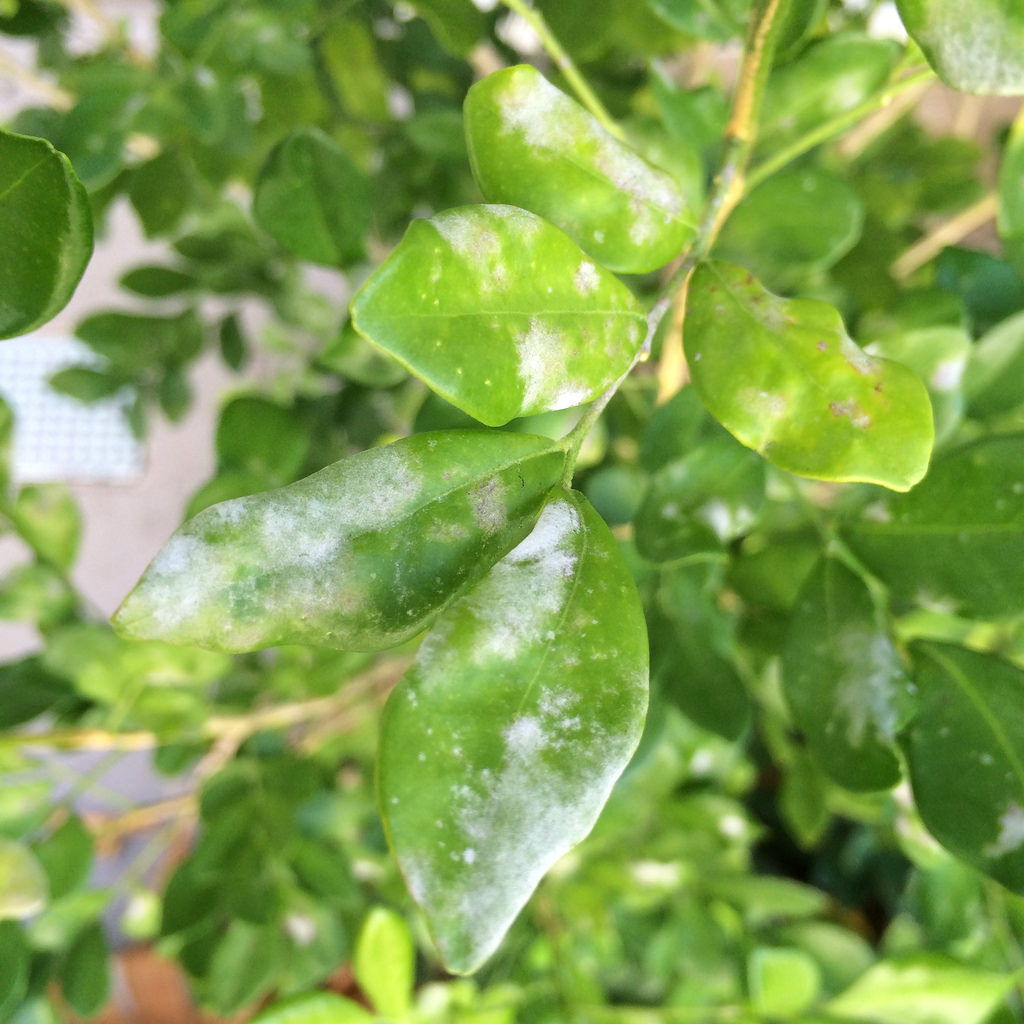 Powdery mildew on hedge