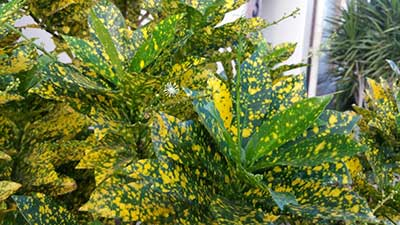 Crotons: How To Grow And Care For Codiaeum Variegatum | Epic Gardening