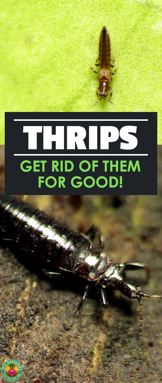 Are thrips terrorizing your plants? Learn all about this sap-sucking pest and how to eliminate it with our complete pest guide!