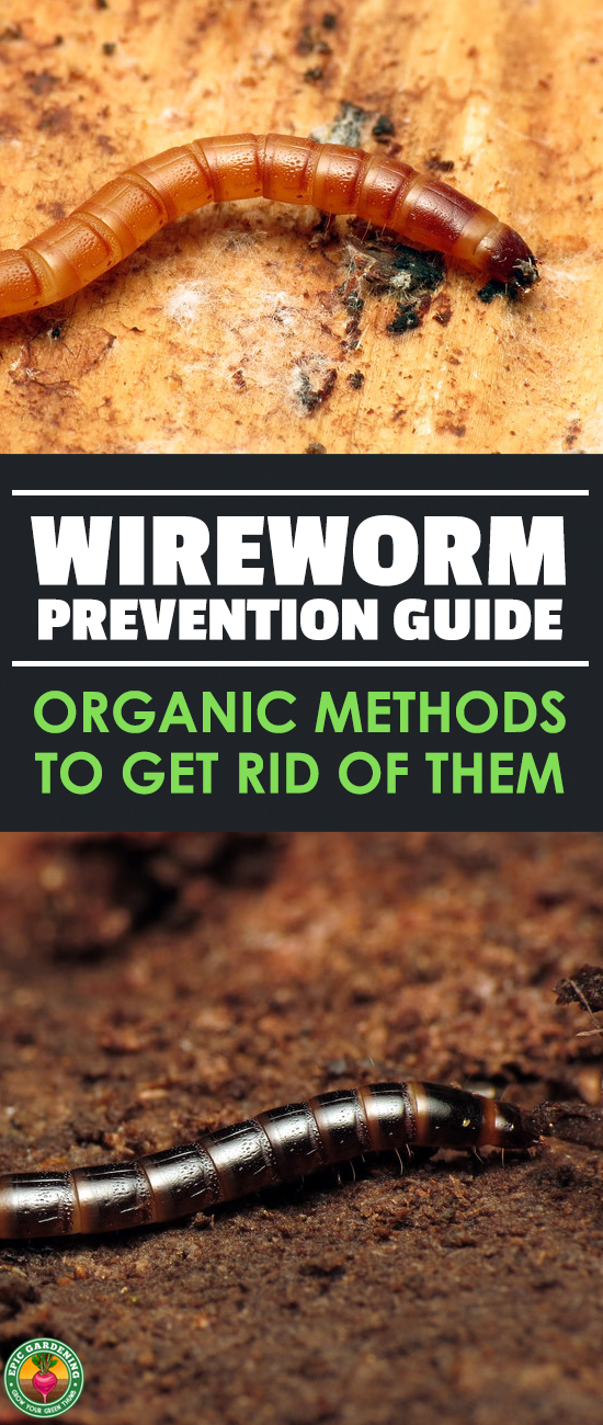 Do you have a wireworm infestation?  Read our complete pest guide to find out how to identify these agricultural pests and wipe them out!