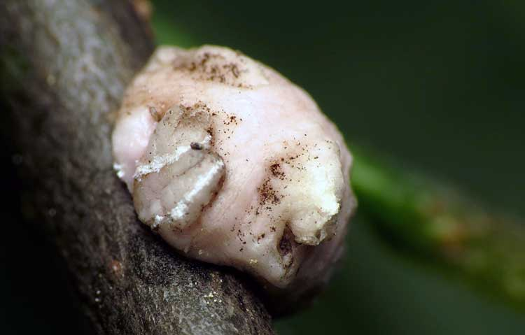 Coccidae 'Pink Wax Scale'