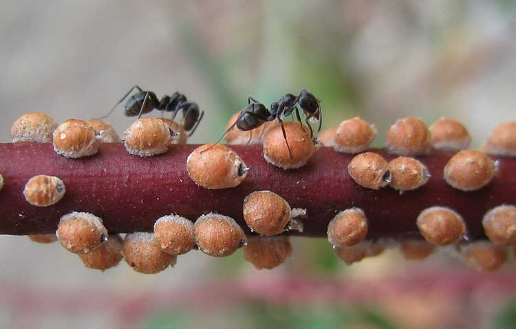 Eriococcidae sapsuckers farmed by ants