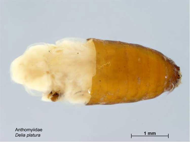 Delia platura pupa