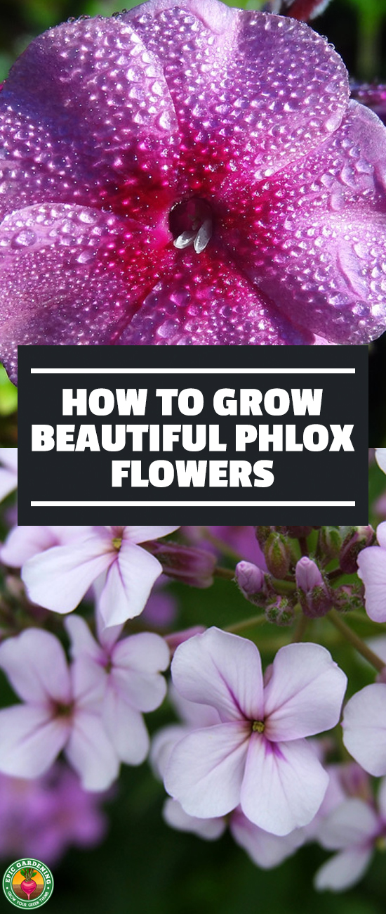 Phlox flowers are delightful in shades of red, pink, purple, blue, or white. Whether you pick creeping phlox or mounding phlox, our growing guide will help!