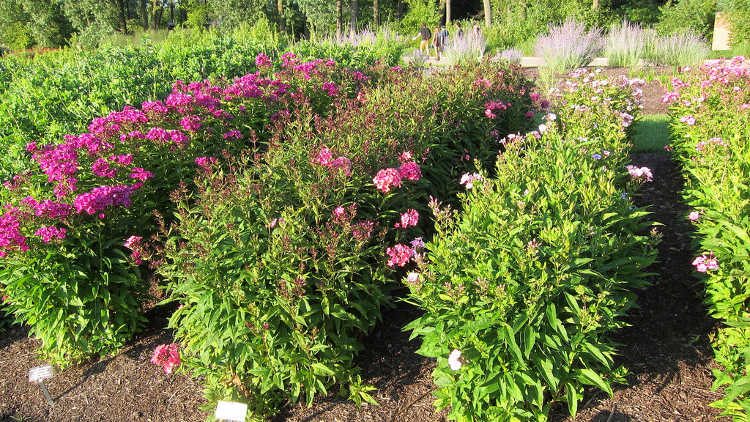 Four types of phlox paniculata
