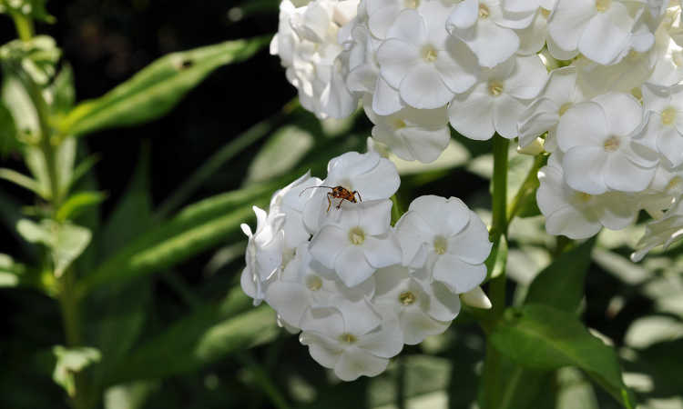 Phlox with phlox bug