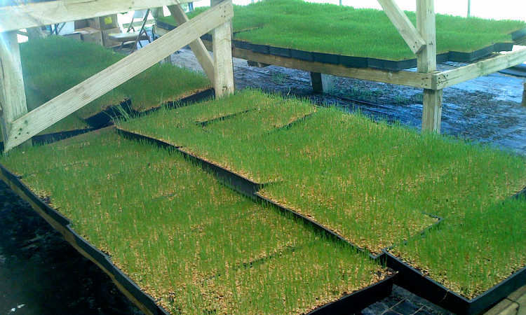 Growing wheatgrass in trays