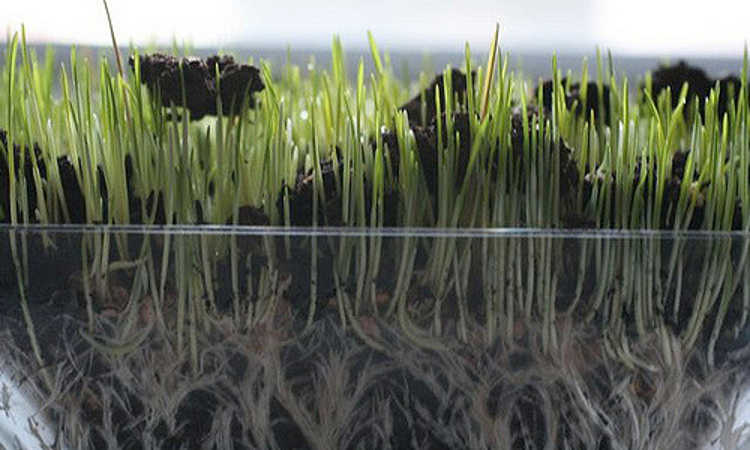 Wheatgrass root structure
