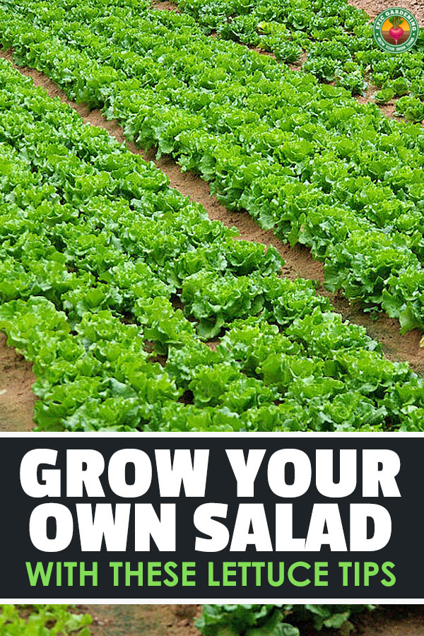 Learning the secrets of how to grow lettuce will let you harvest delicious, nutritious greens every single week. Learn how in this complete guide!
