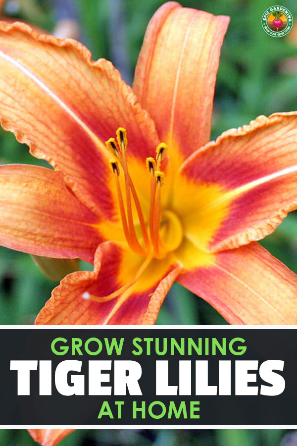 The tiger lily is a stunning, flashy plant which can brighten up any garden. Learn to grow your own Lilium lancifolium with our complete care and growing guide!