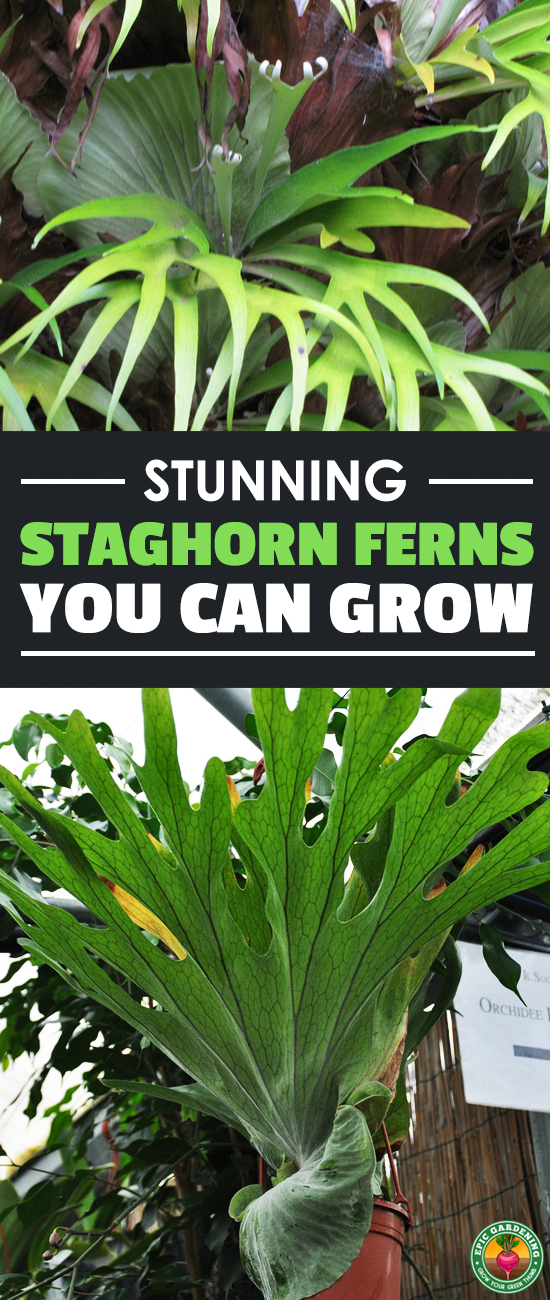 The staghorn fern is a lush, ancient tropical rainforest dweller which can be grown at home. Check out our growing guide for everything you need to know!