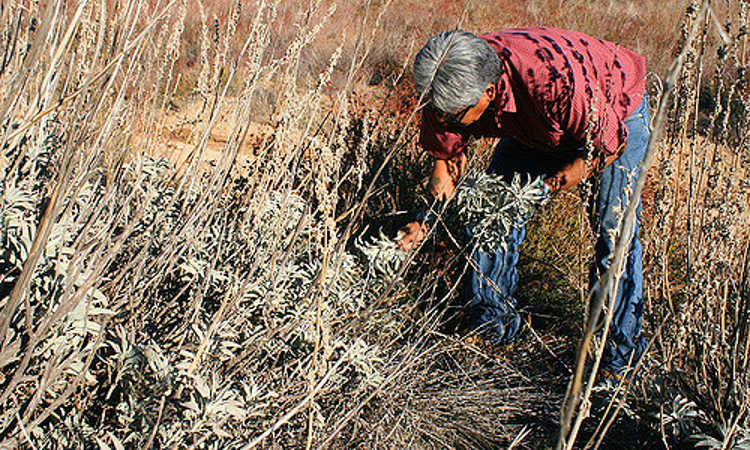 A tribal member harvesting white sage