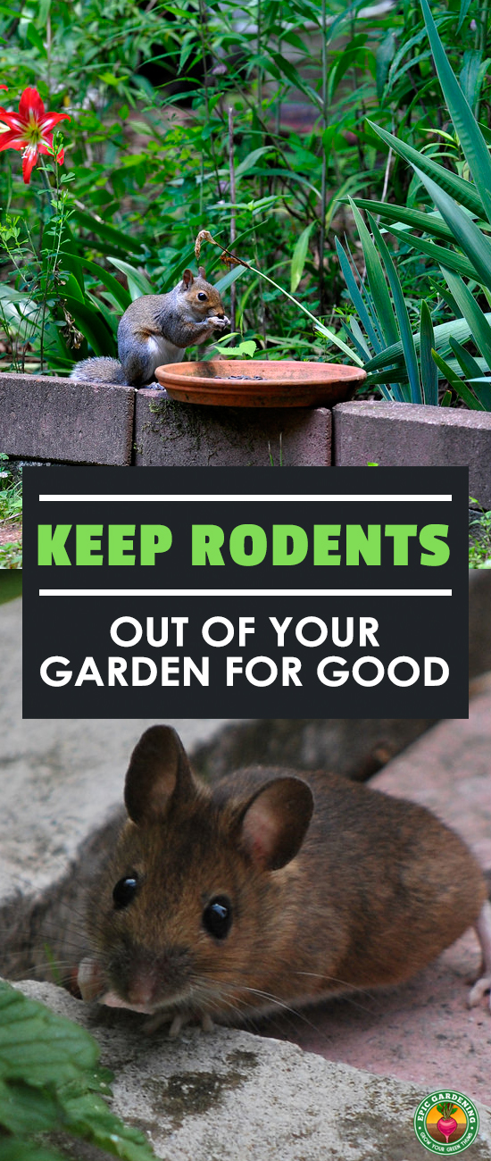 If rodents are invading, you'll want a mouse and rat proof garden. Here, you'll find some simple and natural solutions to get these pesky rodents out for good!