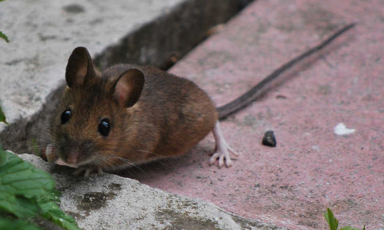 Rat Proof Garden: How To Get Rid Of Rodents In Garden Spaces | Epic