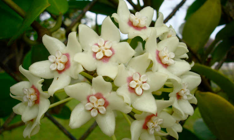 Hoya Plant How To Grow And Care For The Wax Plant Epic Gardening