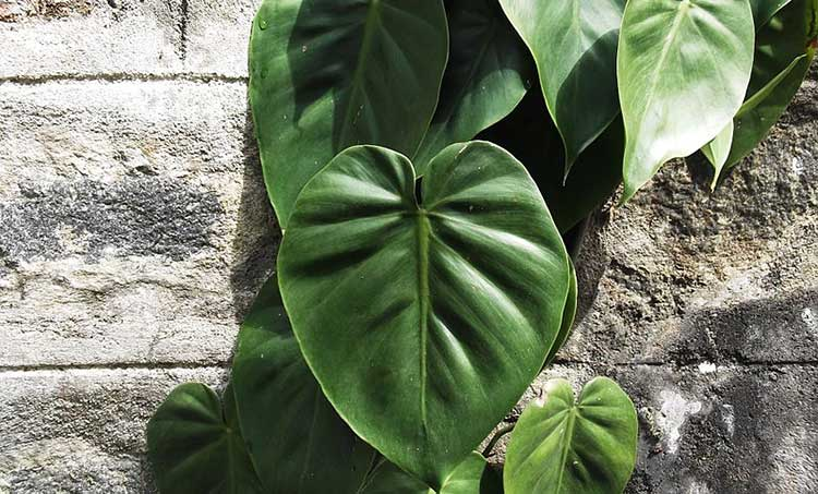 Heartleaf philodendron / Philodendron scandens